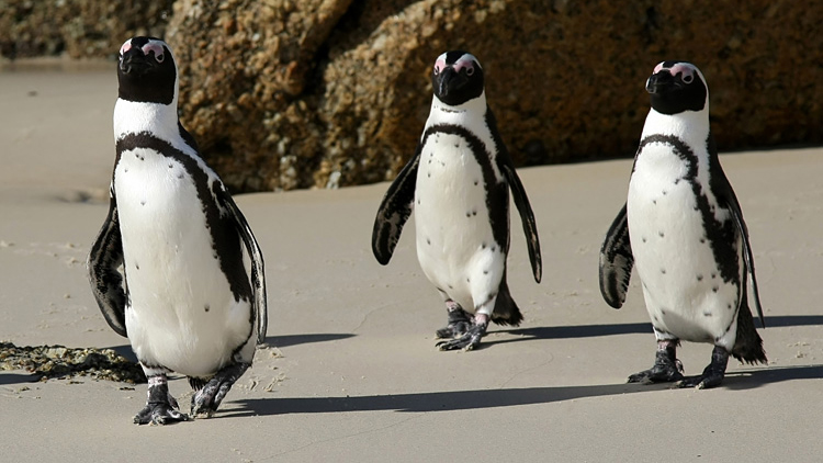 African Penguin Exhibit at the Vancouver Aquarium