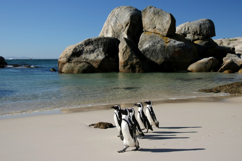 Penguins crossing the sandy beach at Boulders in South Africa