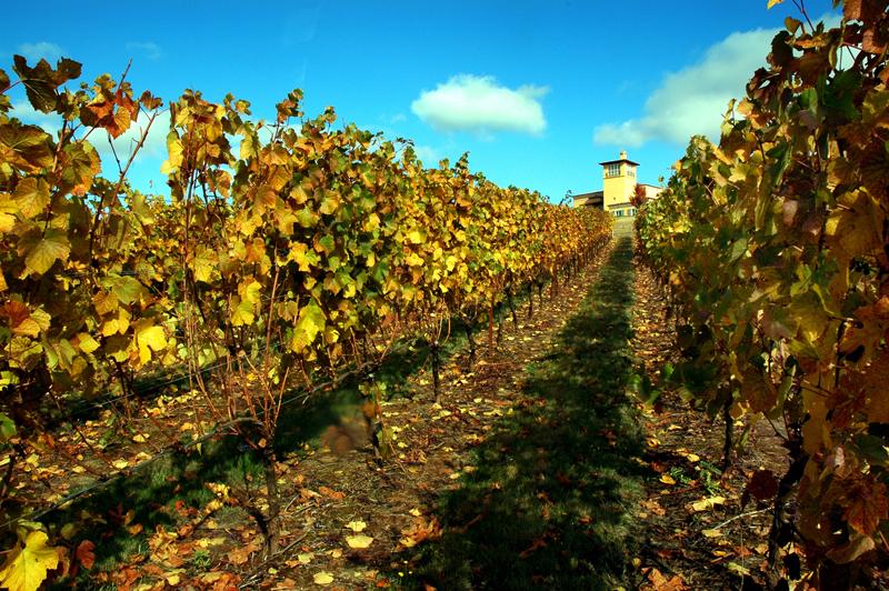 Pinot Noir Grapes at Dayton, Oregon
