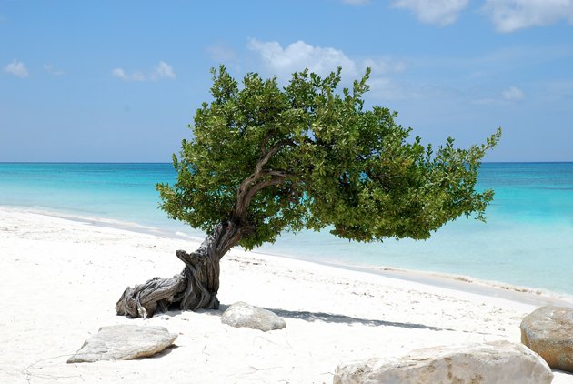 Divi tree on beach in Aruba