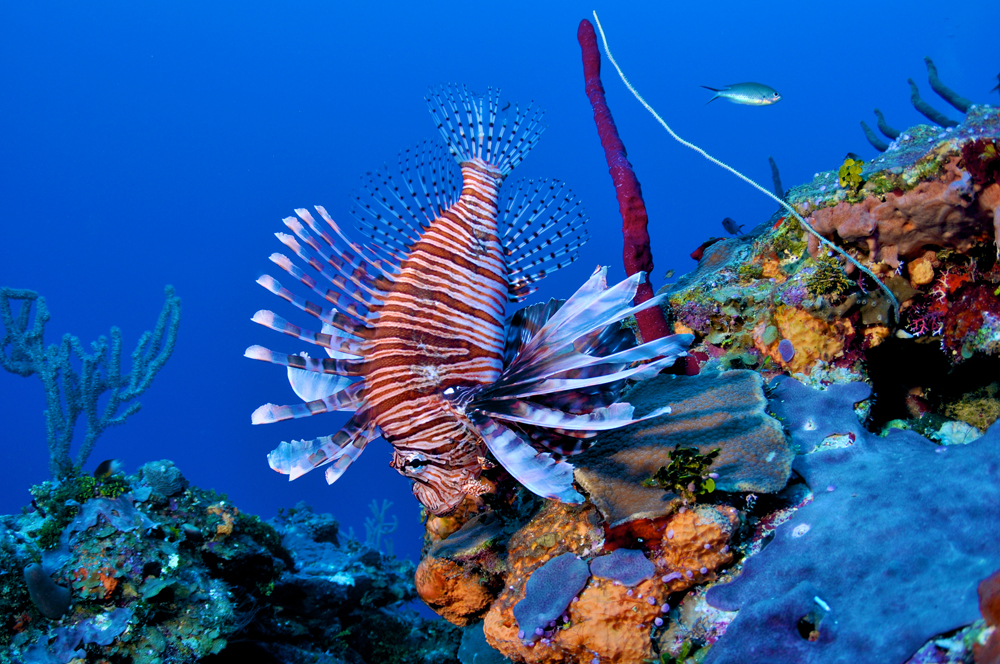 Free Swimming Lionfish on a Wall in Grand Cayman Caribbean