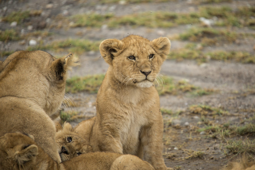 G Adventures Tanzania Serengeti Lion Cub
