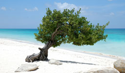 Divi tree - Aruba