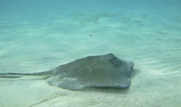 A visit to Stingray City is a must on a Caribbean Vacation to the Cayman Islands